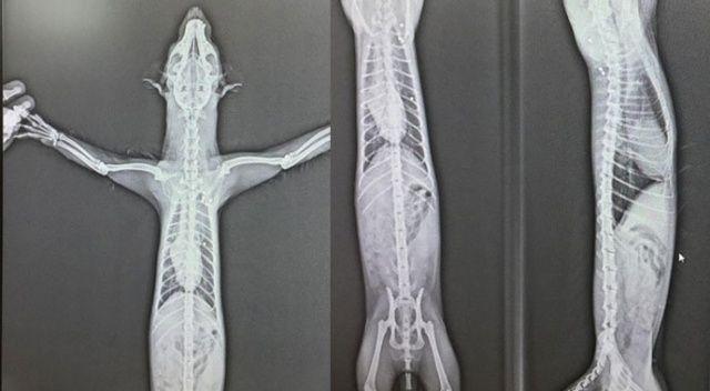 Yaralı halde bulundu, gerçek röntgenle ortaya çıktı