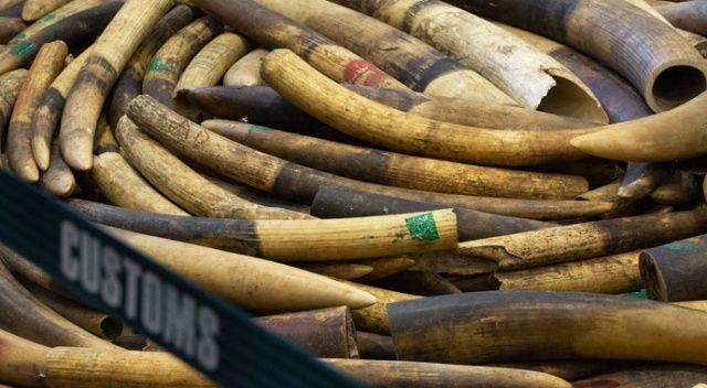 Çin'de 7,5 ton fildişi ele geçirildi