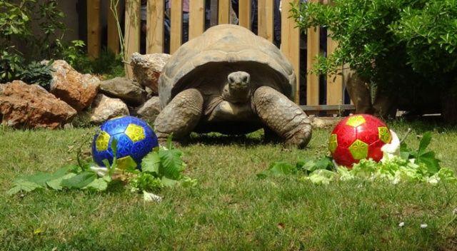 Tuki tarafını seçti: Dev kaplumbağa Tuki'nin derbi tahmini