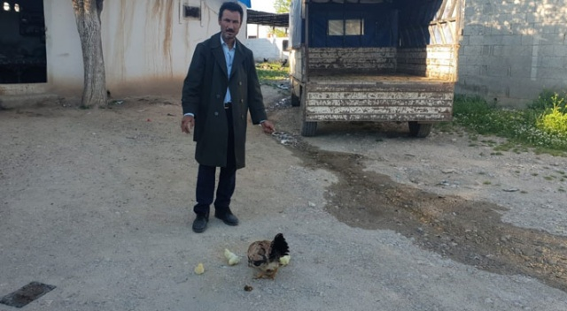 Dört bacaklı civciv bir gün yaşadı
