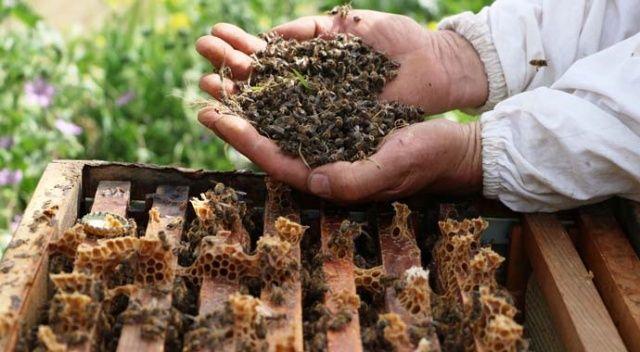 Manisa'da bilinçsiz zirai ilaçlamadan dolayı milyonlarca arı telef oldu