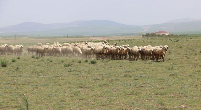 Bu ırkta ki özellik dünyadaki başka hiçbir koyun ırkında yok