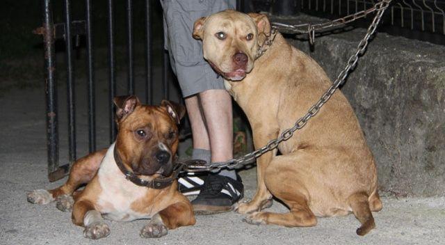 İki pitbull cinsi köpeği park girişine bağlayıp kaçtılar