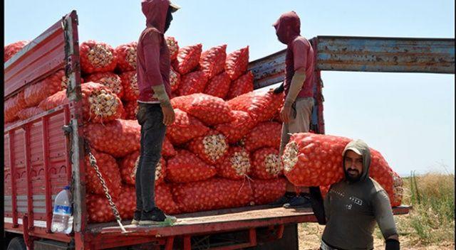 Dünyanın en lezzetli soğanı Karacabey'den