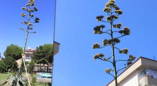 Sitenin bahçesine ektikleri bitki 29 yıl sonra çiçek açtı