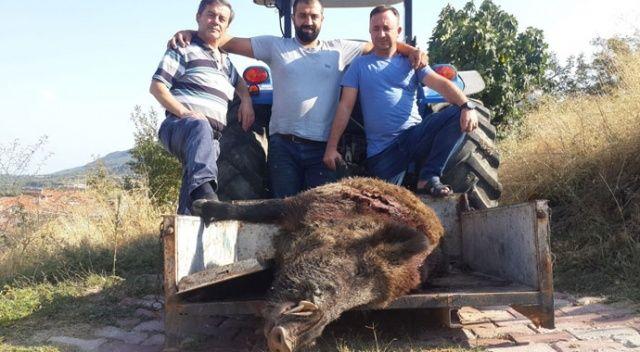 Görenleri şaşkına çevirdi! 2 saat kovalamaca sonrası 290 kiloluk domuzu vurdular