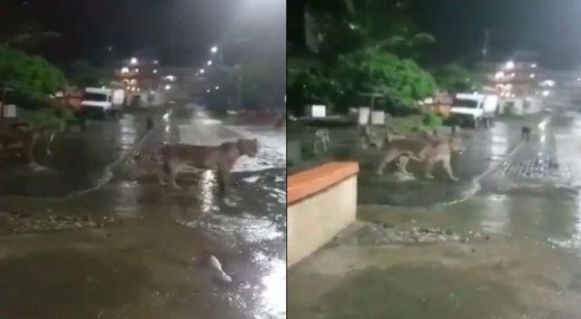 Hindistan'da aslanlar sokağa indi!