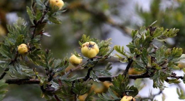 Doğal ilaç dağ meyvesi: 'Alıç'