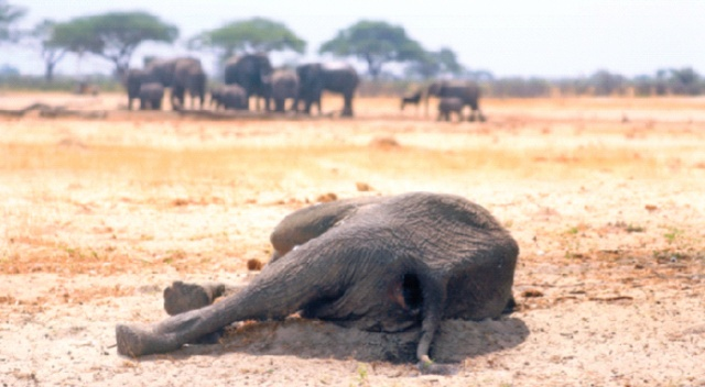 Artan kuraklık  yüzünden iki ayda 200 fil öldü