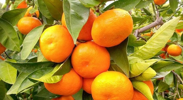 Bosna Hersek 21 ton mandalinayı geri gönderdi