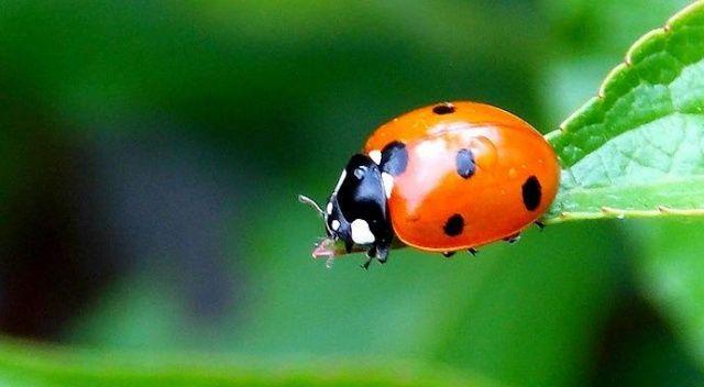 İthal ilaç yerine uğur böceği