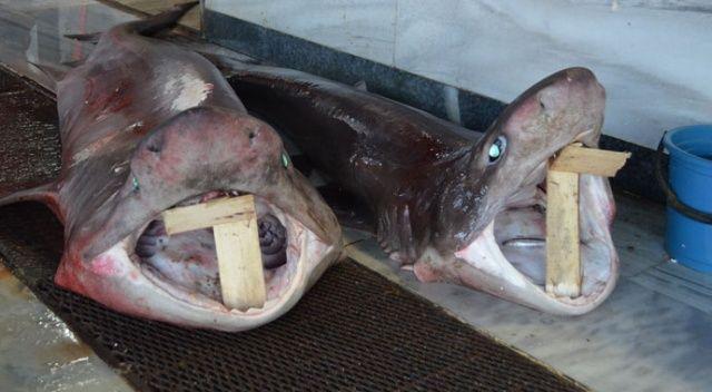 Balıkçıların avladığı balık köpek balığı çıktı