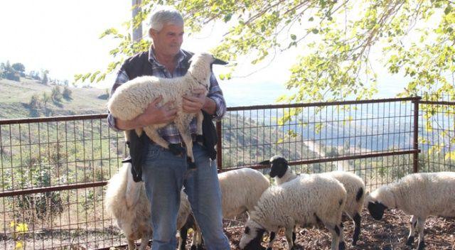 Koyunlar beşiz doğurdu, sahibinin yüzünü güldürdü