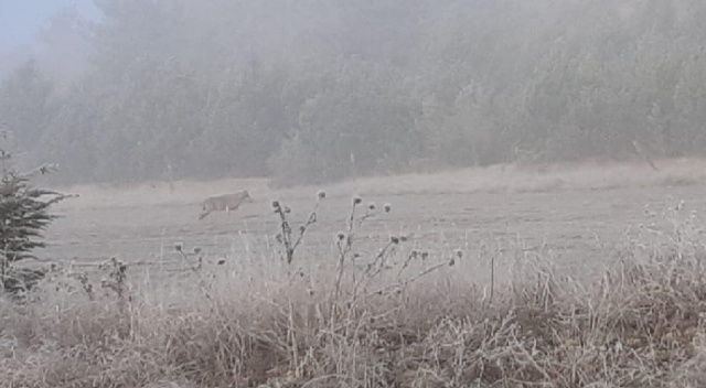 Aç kalan kurt köy yakınına indi