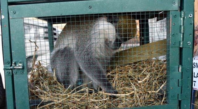 Aksaray'da evden kaçan maymun girdiği ahırda yakalandı