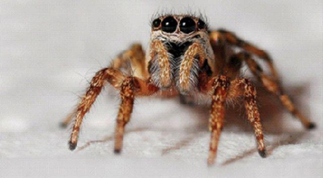 Şimdi de zehirli örümcek uyarısı