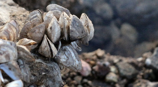 Van Gölü Havzası'nda yabancı tür tehlikesi