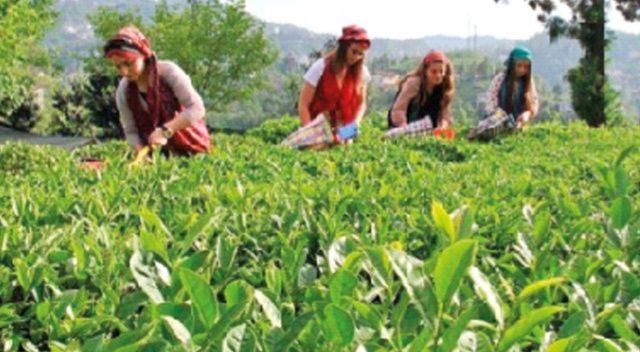 Karadeniz'de çay seferberliği
