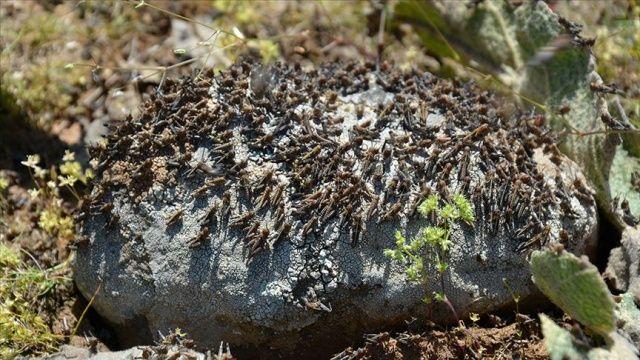 Uganda'nın kuzeyinde halk tarlaları istila eden çekirgeleri yiyor