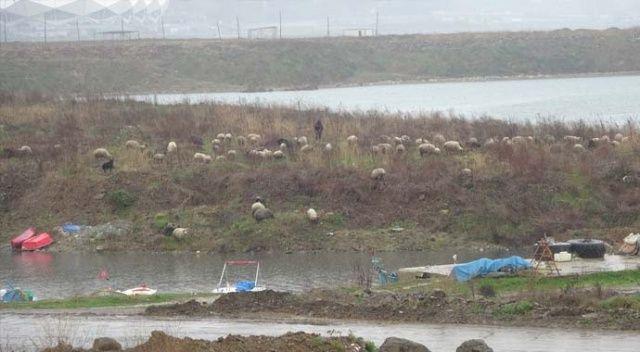Trabzon'da boş kalan sahiller koyun sürüsüne kaldı