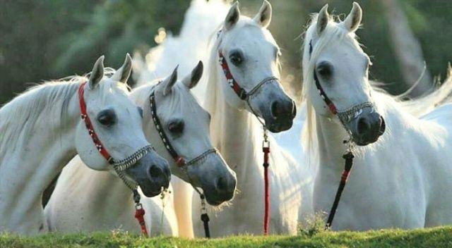 Bereket atların alınlarındadır