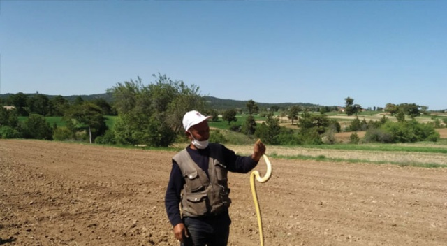 Çiftçi eliyle yakaladığı 1.5 metre uzunluğundaki yılanla böyle oynadı
