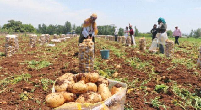 Erkenci patates hasadı 15 gün gecikti