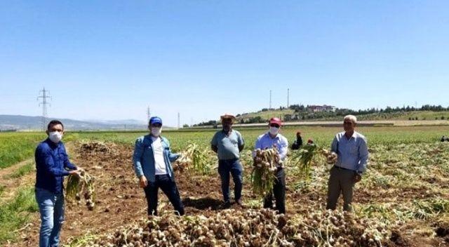 Kahramanmaraş'ta hasadına başlanan sarımsak tarlada 15 liraya alıcı buluyor
