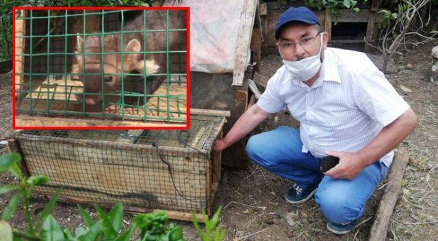 Kümesindeki yumurtaları yiyen sansarı kurduğu düzenekle yakalayıp hesap sordu, sonra doğaya saldı