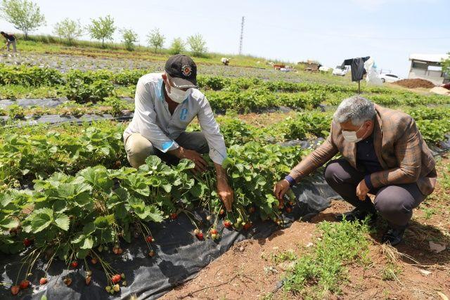 Sur'da çilek hasadına başlandı