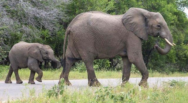 Botsvana'da yüzlerce filin gizemli ölümü
