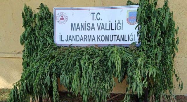Manisa'da ormanlık bölgedeki 3 tarla içinde 550 kök kenevir ele geçirildi