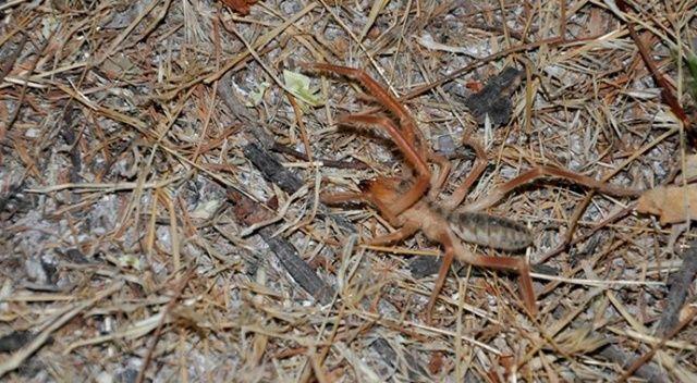 Sarıkız örümceği Arguvanlıları tedirgin ediyor