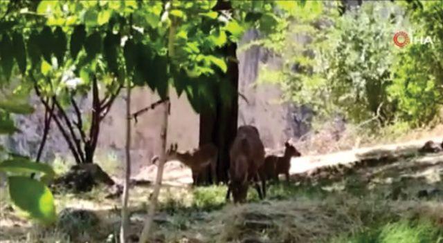 Tunceli'de dağ keçisi avlattırma ihalesi iptal edildi
