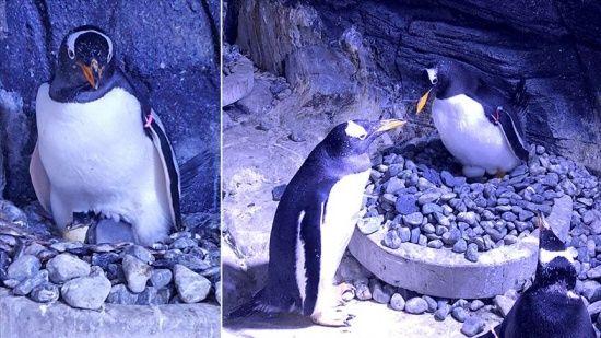 Türkiye'nin ilk bebek kutup pengueni İstanbul'da dünyaya geldi