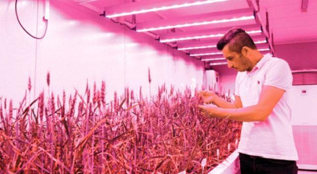 Laboratuvarda buğday  hasadı iki aya düştü!