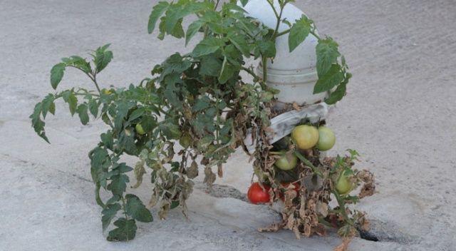 Gören hayret ediyor... Bu domates betonda yetişiyor