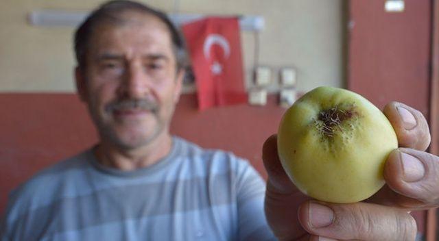 Görenler hayretler içerisinde kalıyor! Sakallı elma...
