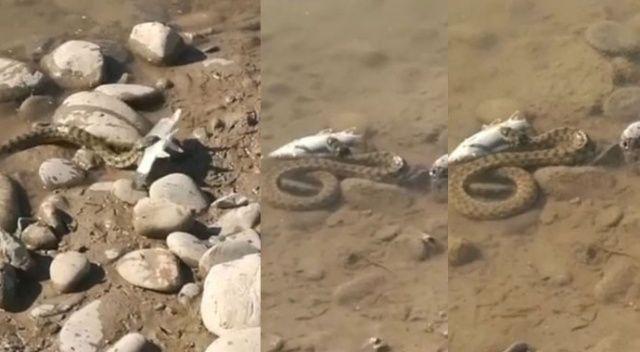 Turna balığını avlayan yılan görüntülendi
