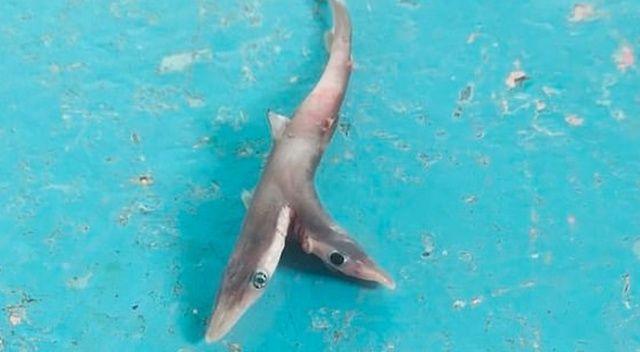 Hindistan'da çift başlı köpek balığı tutuldu