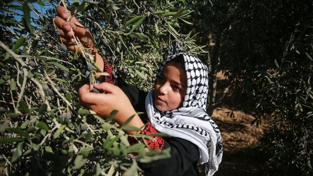İsrail askerlerinden Filistinlilerin zeytin toplamasına engel