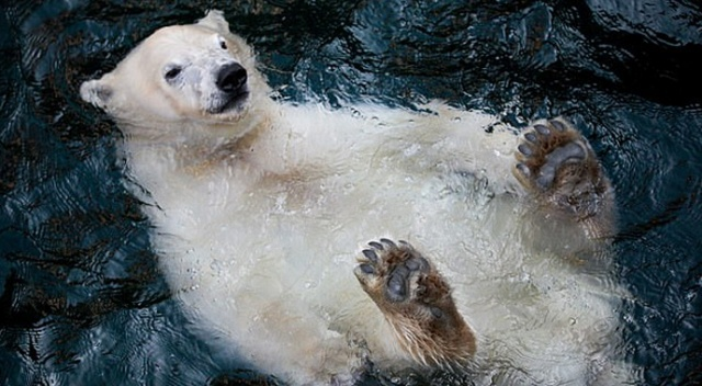 Kutup ayısının yüzme keyfi
