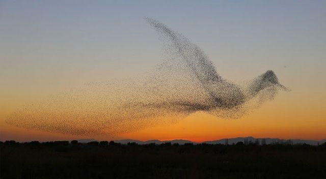 Sığırcıkların gökteki raksı: Kuşlardan havada görsel şölen