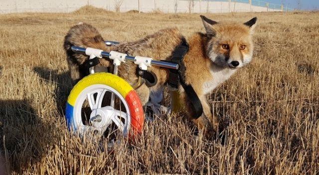 Engelli hayvanların dostu tilkiye protez bacak yaptı