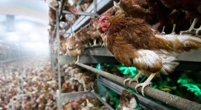 Danimarka'da kuş gribi nedeniyle yaklaşık 9 bin kümes hayvanı itlaf edilecek