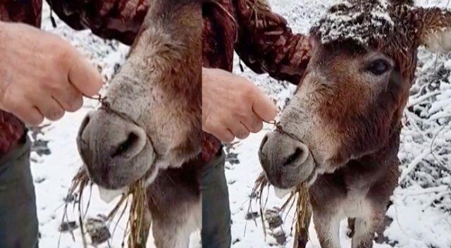 Eşeğin ağzını telle bağlayıp kar altında ölüme terk ettiler