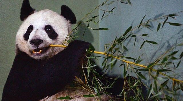 Krizdeki hayvanat bahçesi pandaları Çin'e iade edecek
