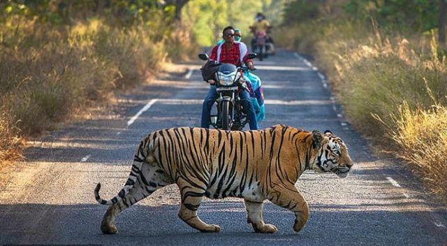 Motosiklet sürerken karşılarına dev kaplan çıktı