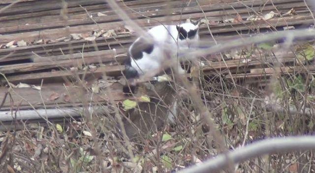 Psikopat kedi
