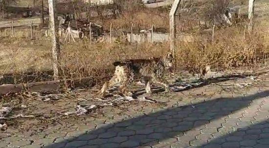 Nadir görülen vahşi hayvan ilçe merkezine indi